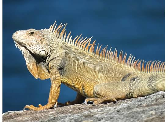 Green Iguana at Castillo del Morro- unfortunately it's not native to PR