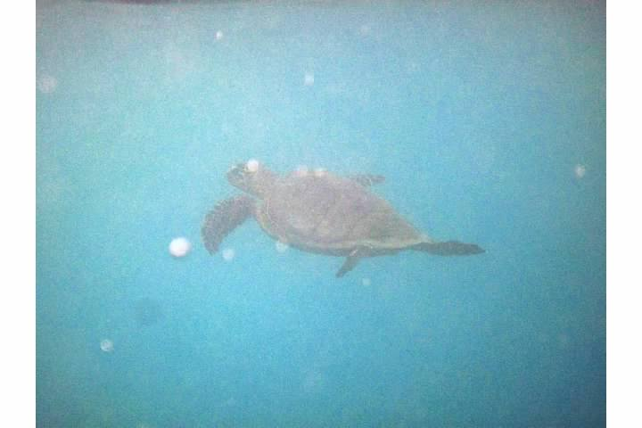 Sea turtle at Mosquito Pier...don't mind the noise from the contrast boost...
