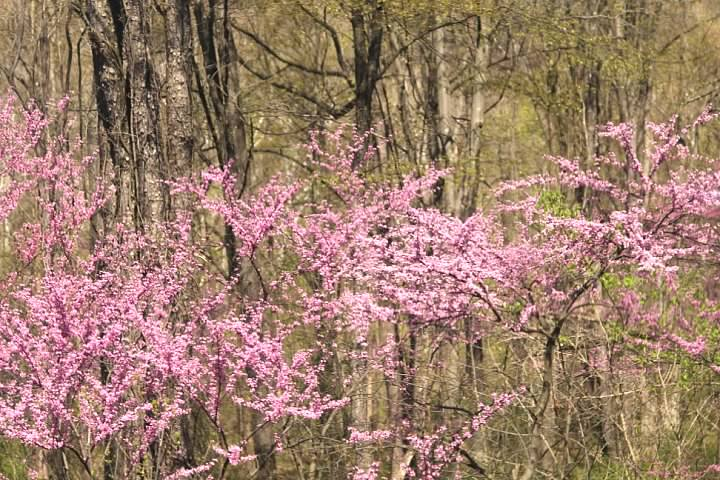 Redbuds in bloom- they're one of the most beautiful and most common flowering trees in the Eastern United States