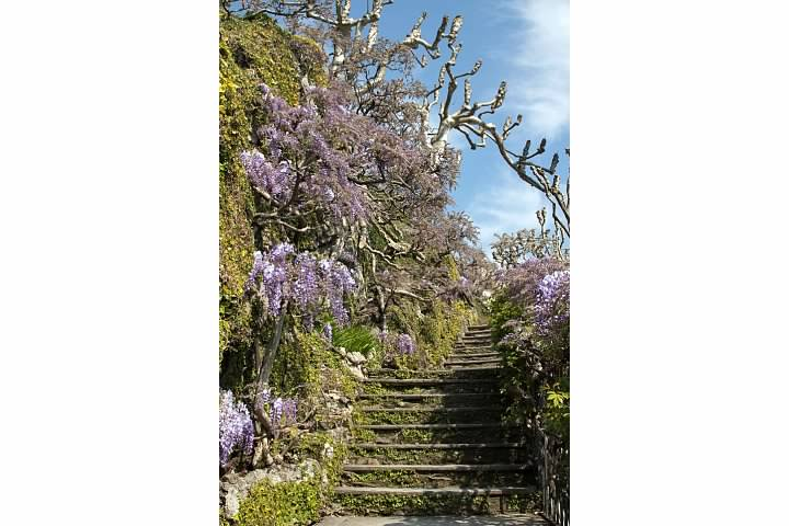 Wisteria lining the steps at the villa