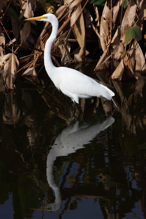 Great egret hunting in the wetlands. I aimed to capture the bird's reflection. Exposure with egrets can be challenging because the bird's plumage is so much lighter than its surroundings. In this particular case, the exposure came out well straight out of the camera, but I often have to tweak the exposure in Photoshop Elements to avoid blown highlights (overexposed) or the bird looking gray rather than white (underexposed)