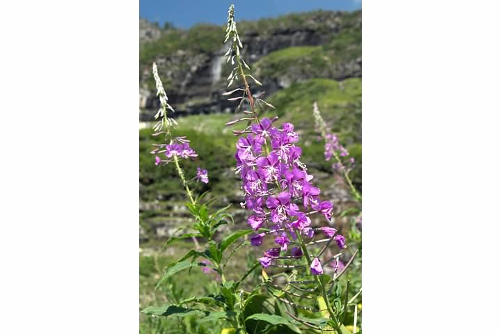 Fireweed abloom at