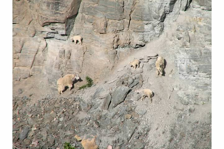 Mountain goats including one sure-footed kid congregate at a