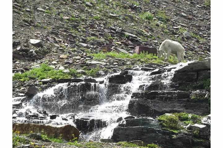 Our first look at mountain goats on this trip!  Rachel Pulverman photography, 2014