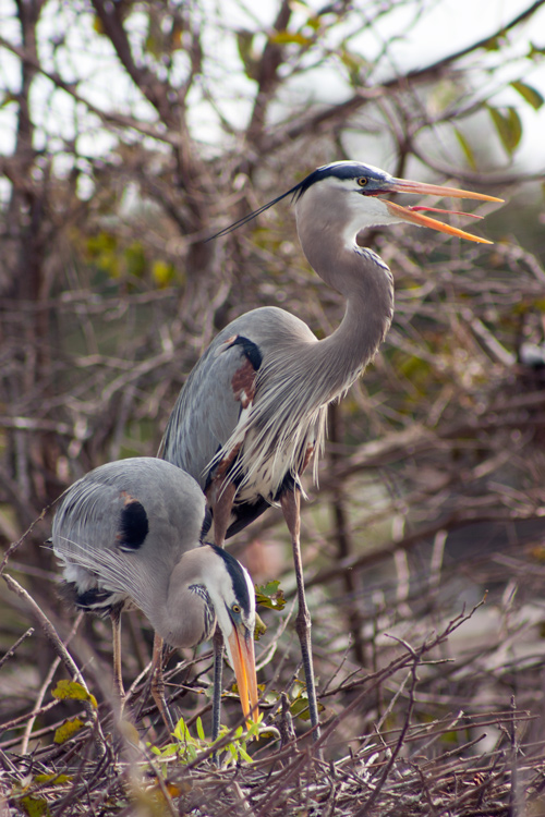The same breeding herons with slightly better light, though the angle still wasn't ideal. Unfortunately when photographing from a boardwalk, your options for getting a better angle are limited! Love the heron's tongue though. More than any other bird, Great Blue Herons remind me of dinosaurs.