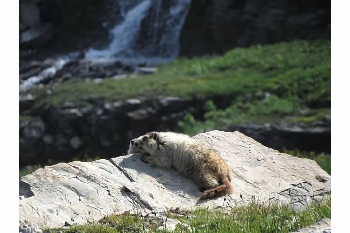 Hoary marmot and pup
