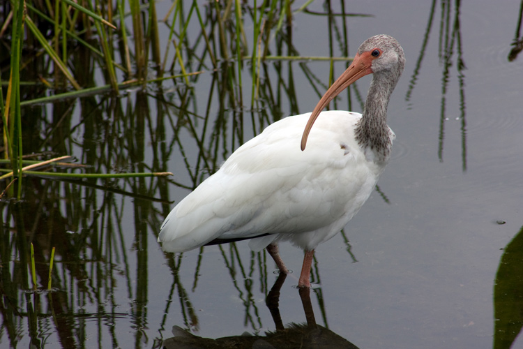 Juvenile white ibis. Lowell Silverman photography, 2013