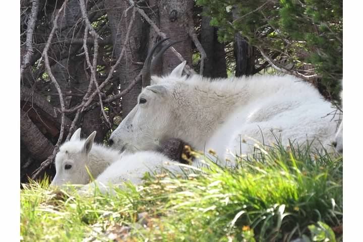 Mountain goat nanny and kid near the Hidden Pond Trail.  Rachel Pulverman photography, 2014