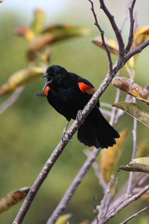 Male red-winged blackbird calling. Lowell Silverman photography, 2011
