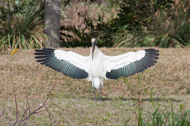 Wood stork flaring for a landing. I acquired the bird on approach; it was easy to track since it was moving towards me, not across my field of vision. I was ready to shoot at the perfect moment. Well, except for the foreground foliage, it's a pleasing shot. Exposure adjusted slightly for the white body and photo slightly cropped.