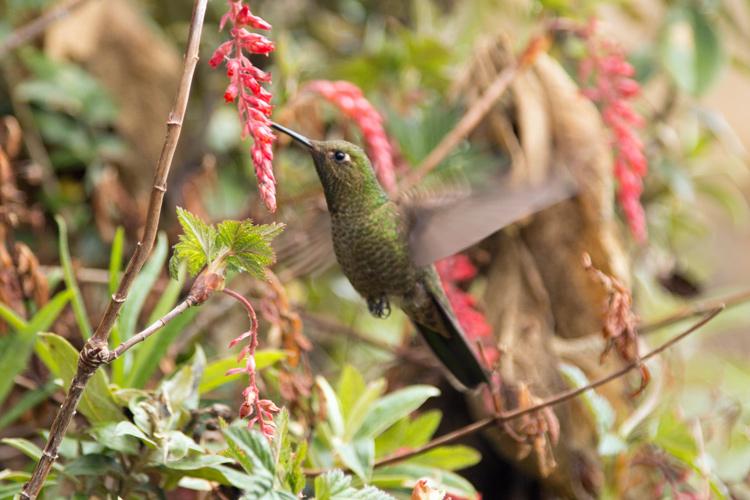 Inca-Trail-Horiz-Hummingbird