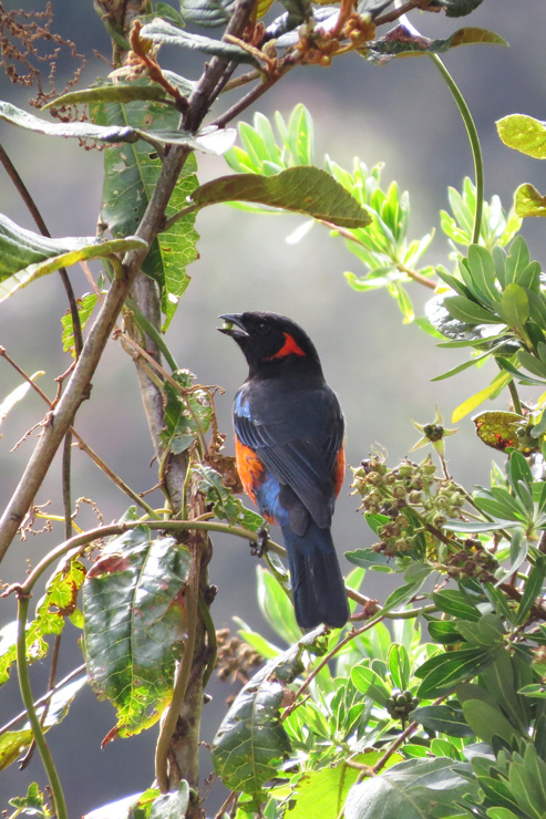 Scarlet-bellied mountain-tanager