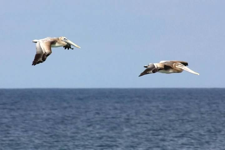 14 Brown Pelicans