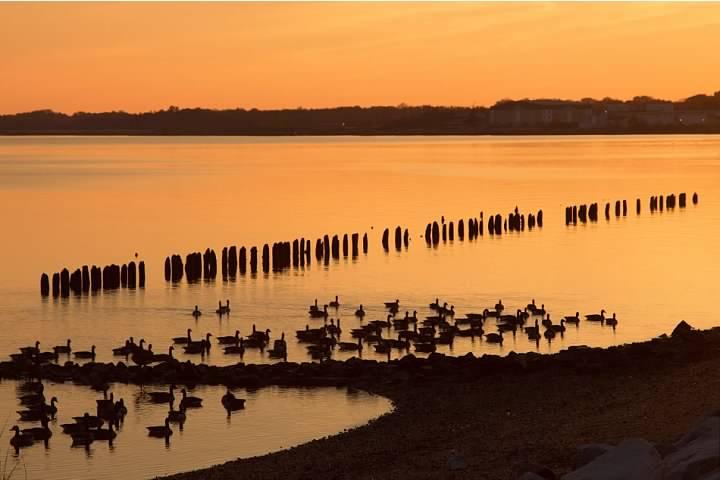 7 Shoreline Geese