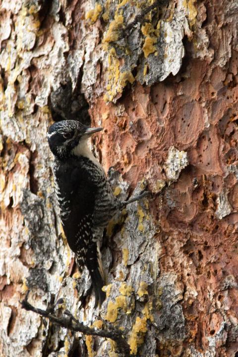 3-toed-woodpecker