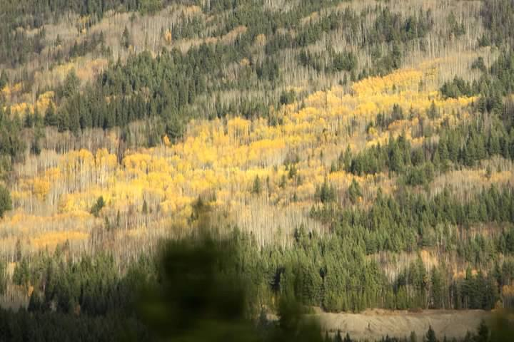 7 Yellow BC Forest