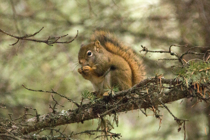720Red-Squirrel