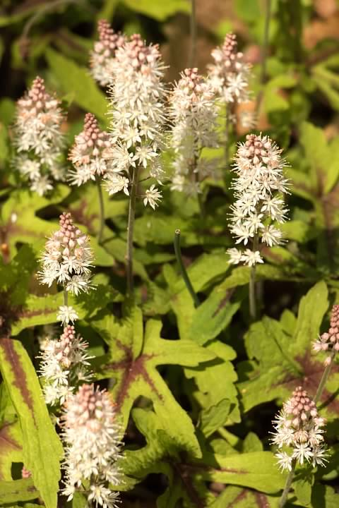 17 Foamflower