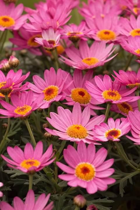 4 Marguerite Daisy
