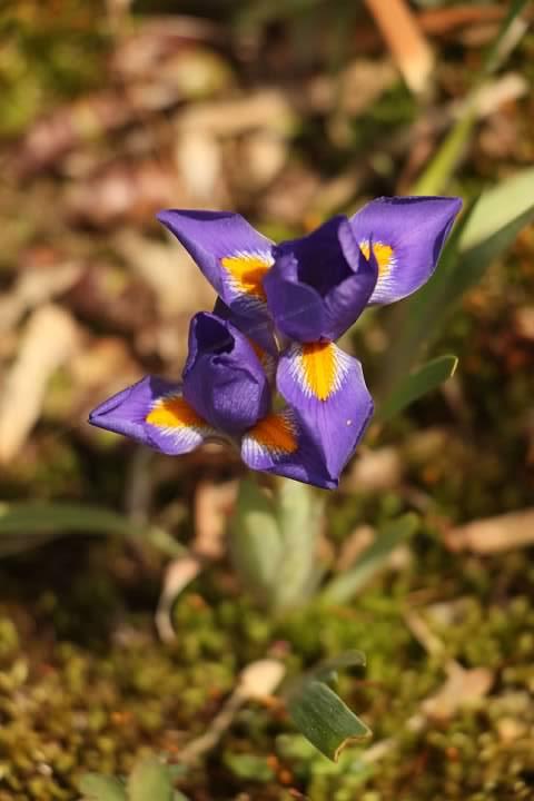 7 Dwarf Iris