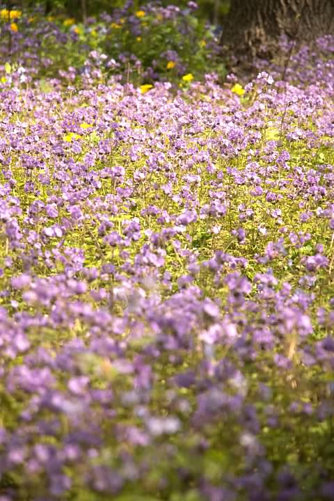 8 purple phacelia