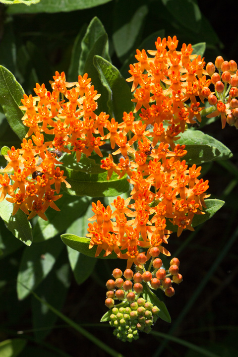 5July720ButterflyWeed
