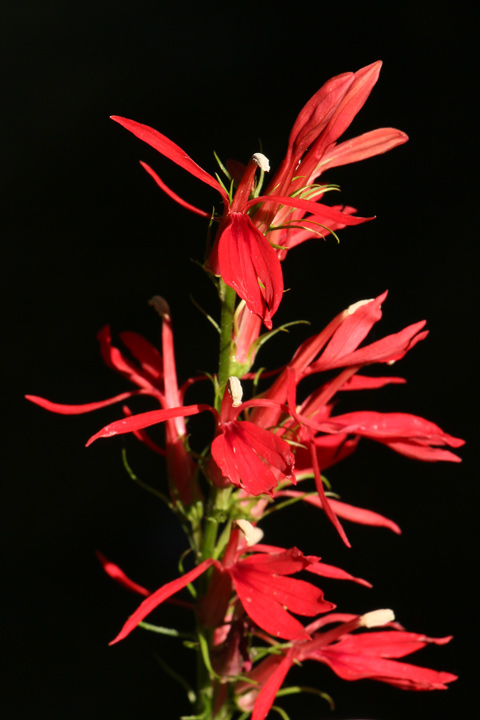 MtCuba9CardinalFlower
